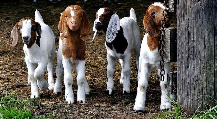 Little goats in Bemus Point,New York