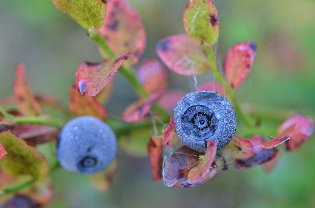 blueberries vine