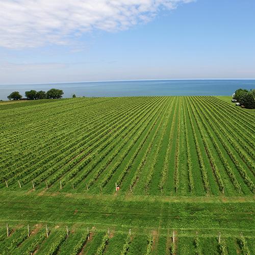 Konzelmann's estate winery vineyard