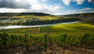vineyard overlooking river and hills