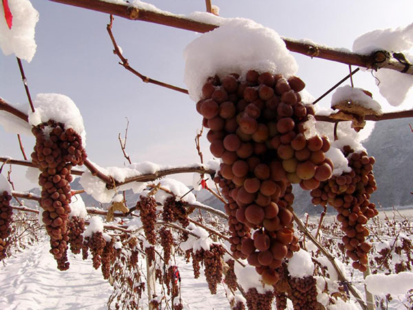 wine grapes in snow